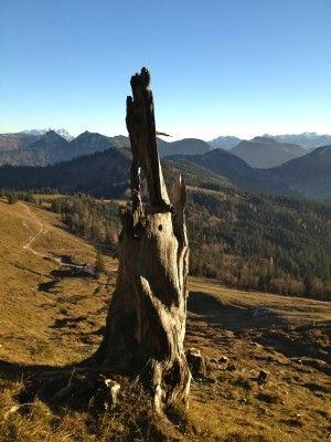 Die Positiven Eigenschaften Des Holzes Der Konigin Der Alpen Zirbe Oder Arve Lat Pinus Cembra Werden Seit Jahrhunderten Ge Zirben Alte Baume Hochgebirge