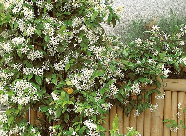 fiche de culture le jasmin toil trachelospermum jasminoides jardin pinterest. Black Bedroom Furniture Sets. Home Design Ideas