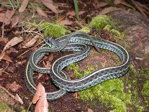Species Profile Eastern Garter Snake Thamnophis Sirtalis Srel Herpetology Snake Species Beautiful Snakes