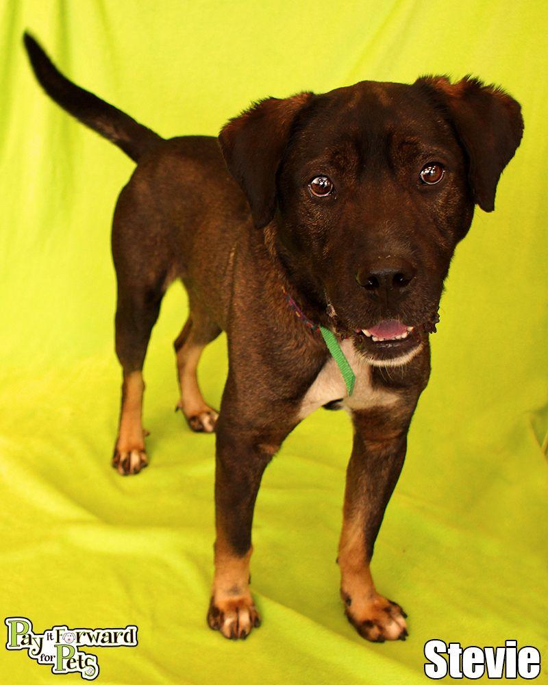 Adopt Stevie On Rottweiler Mix Animals My Animal
