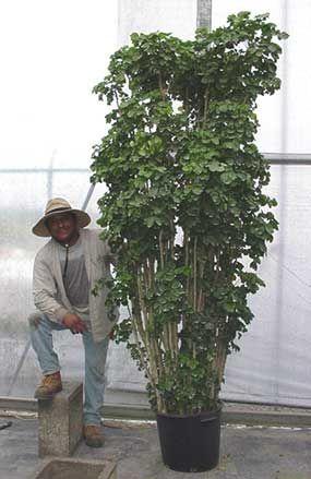 Aralia Plants For Interiors Plants Plant Care Container Plants