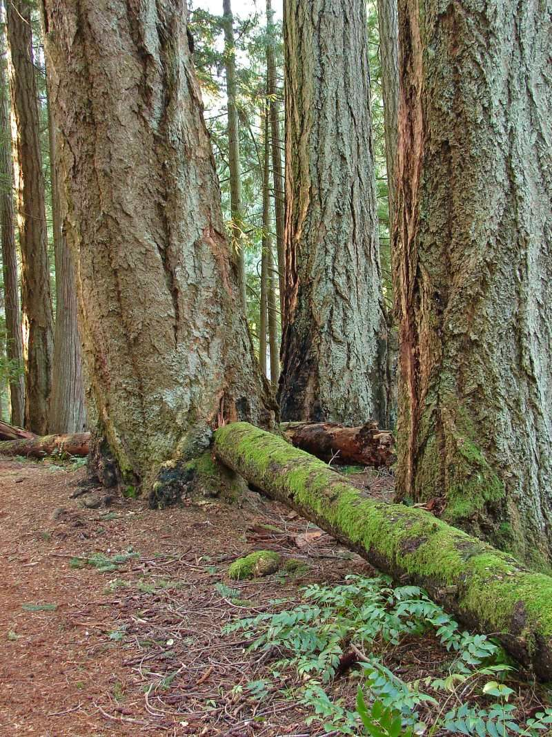 Trail walks with 400 year-old Douglas firs in the Heritage ...  Douglas Fir Forest