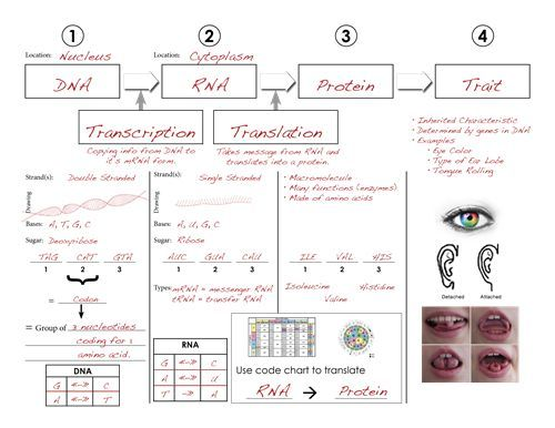 DNA, RNA Protein SynthesisSummary Chart Graphic Orginizer.KEY
