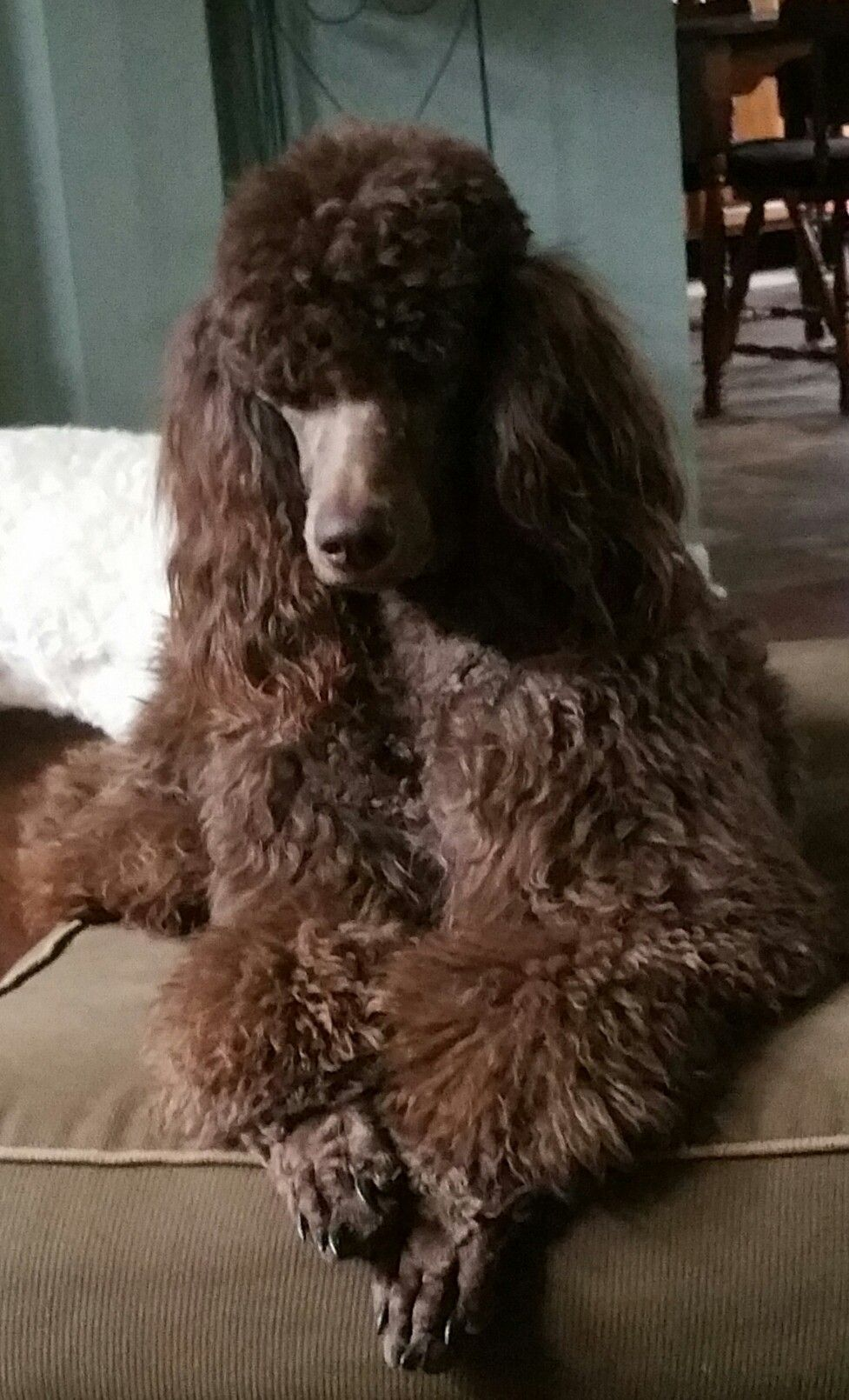 Little Girl 3 Akc Poodle Puppy For Sale Sequatchie Tennessee