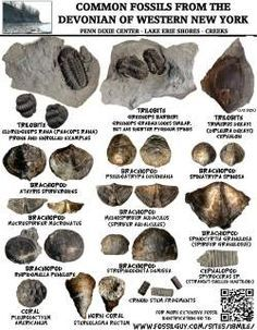 Fossil Identification Worksheet: fossil identification sheets for maryland virginia new york new ,