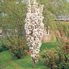 Prunus Amonagawa Flowering Cherry Tree Ornamental Cherry Small Trees