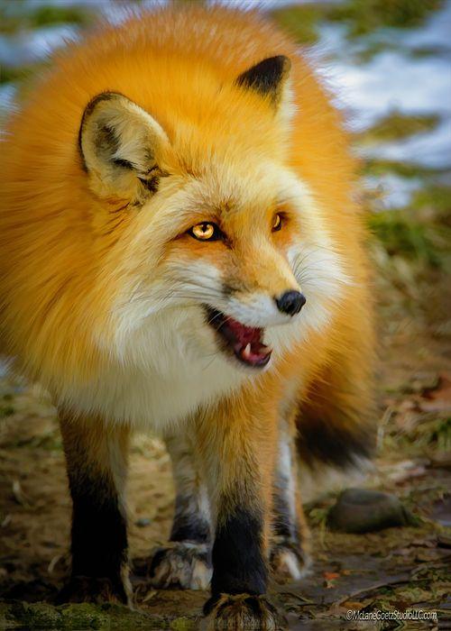 Whimsical Red Fox By Leeann Mclanegoetz Mclanegoetzstudiollccom