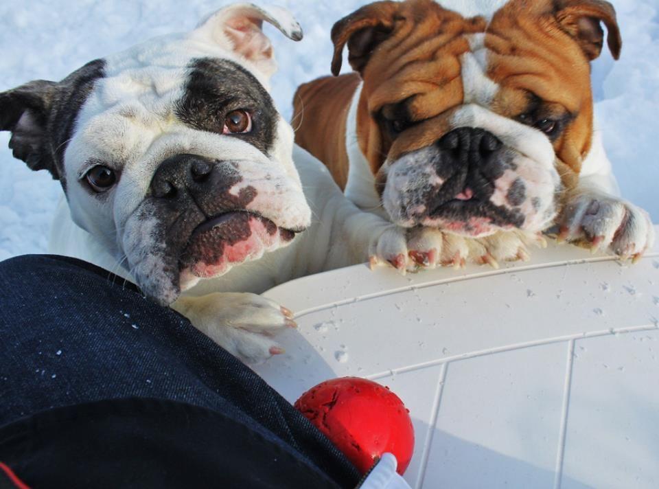 Throw The B A L L Photo From Primo Bulldogs Bulldog