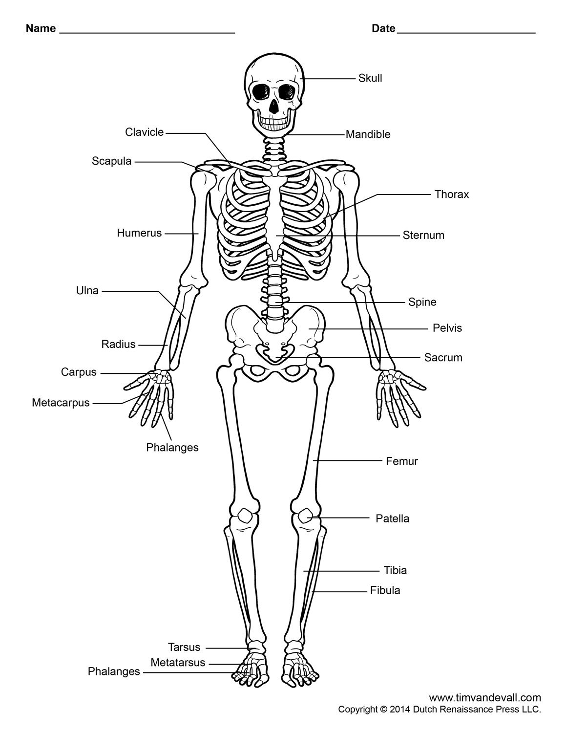 Labelled Human Skeleton Printable Human Skeleton Diagram
