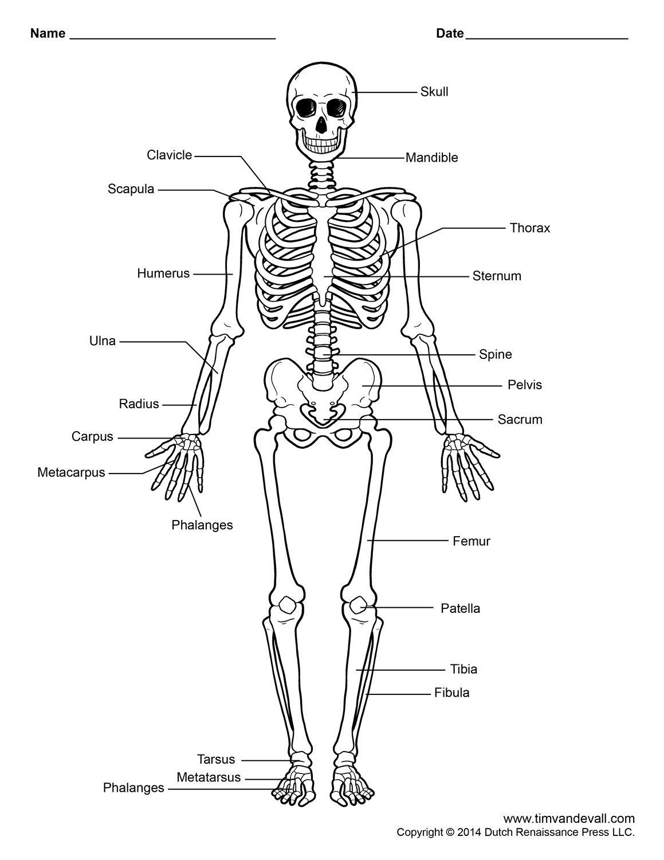 bones body diagram unlabeled
