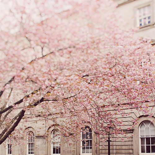 """""""Can words describe the fragrance of the very breath of spring? """"  Cherry Trees my Favorite."""