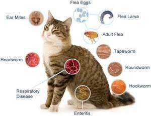 Cat Worms Types Of Parasites In Cats Bing Images Cat Diseases Cat Fleas Cat Worms