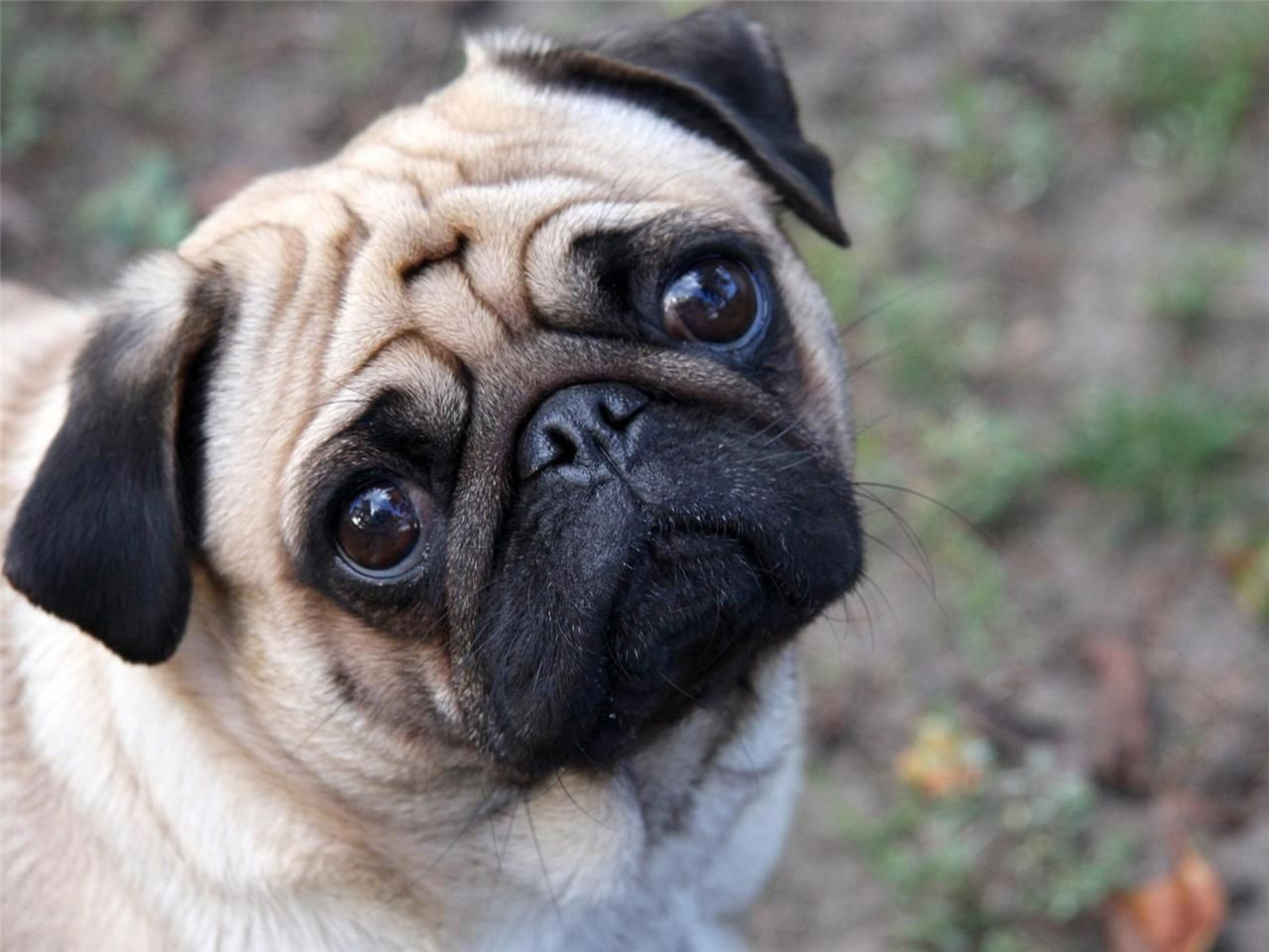 Cute Pug Glossy Poster Picture Photo Dogs Puppy Puppies Beautiful