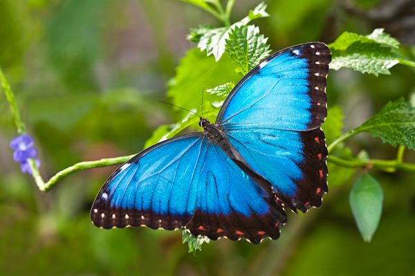 Morpho butterfly | Once Upon a Runway | Pinterest | Blue ...
