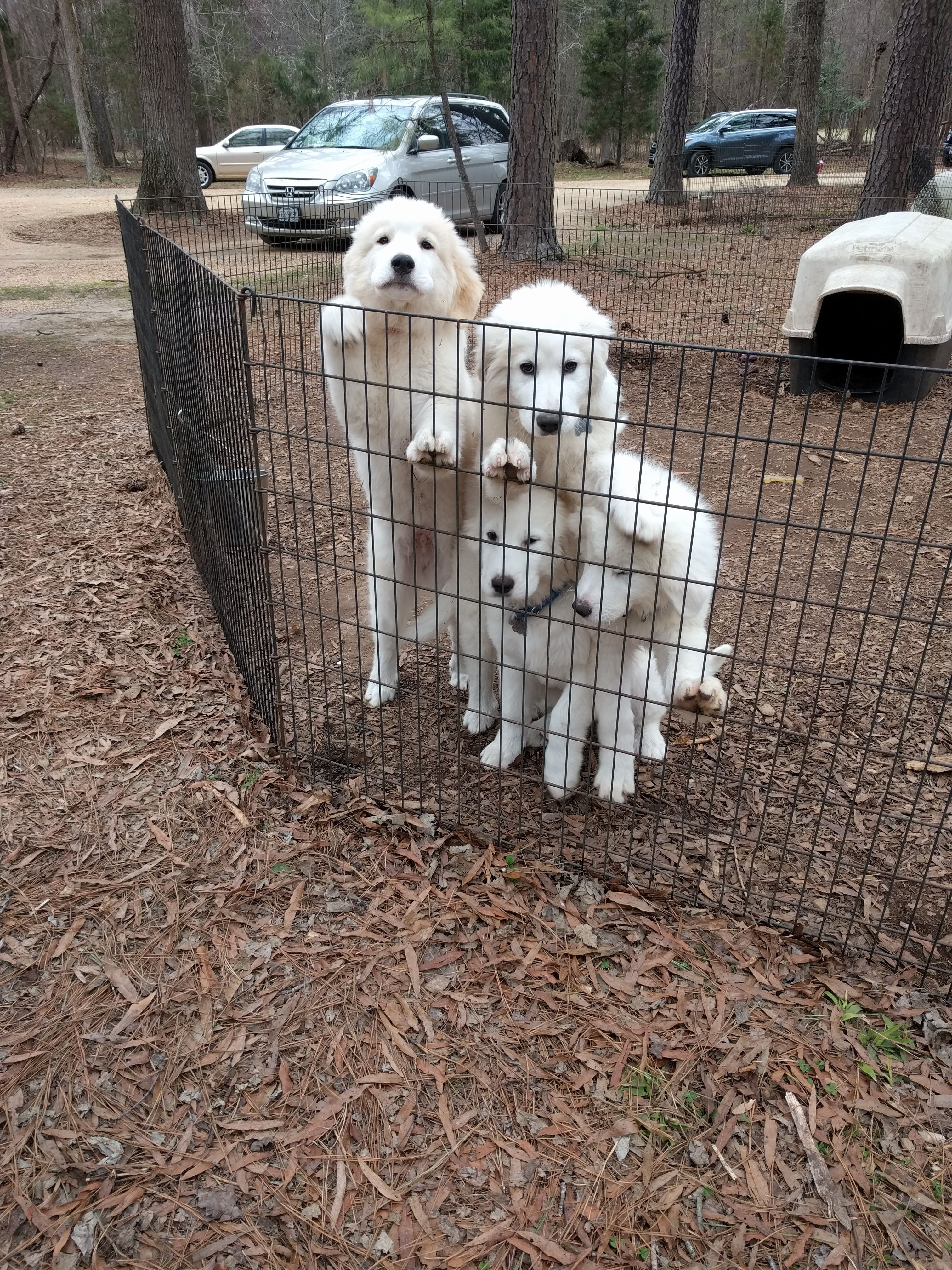 Adopt George And John On Great Pyrenees Great Pyrenees Dog Dogs