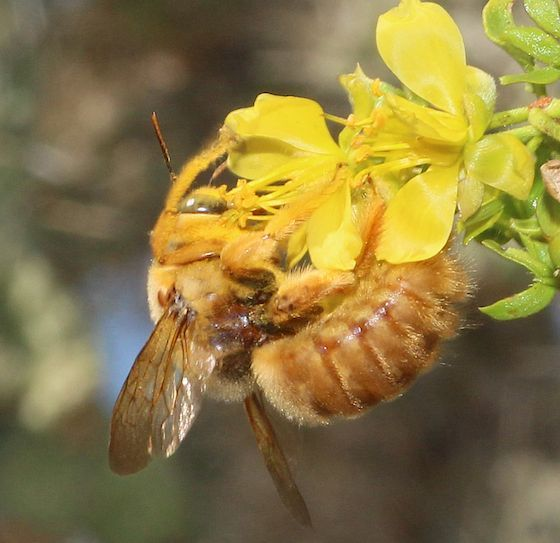 Large Bumble Bees | Large Yellow Bumble Bee - Xylocopa ...