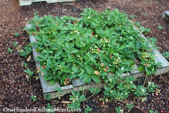 Strawberry Garden Ideas vegetable pallet garden white raised strawberry beds woodworking project plans Pallet Gardening An Abundance Of Strawberries