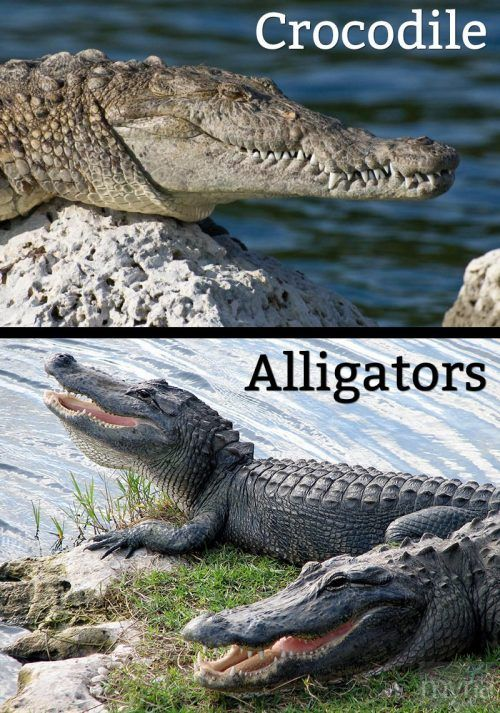 63ef05b2 difference between crocodiles and alligators | What's the difference ...
