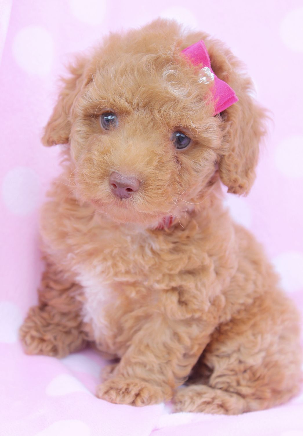 Toy Poodle Puppy For Sale in South Florida Miniature
