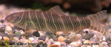 Pin On Freshwater Fish Botias And Loaches