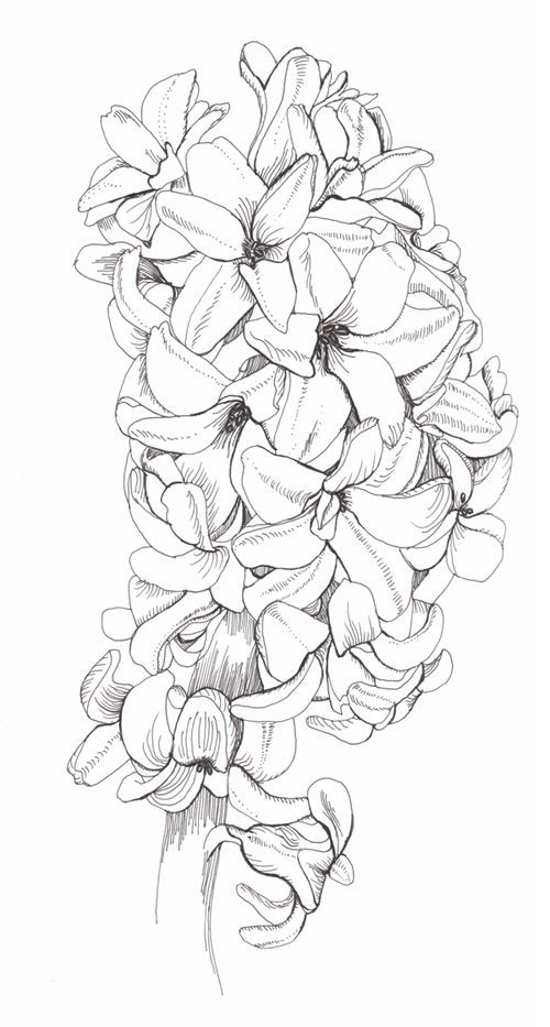 Hyacinth Phase Flower Coloring Pages Flower Sketches