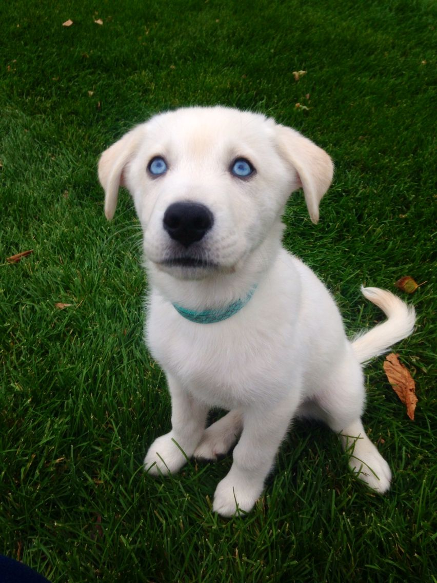 Goberian Puppy With Images Blue Eyed Dog Cute Animals Dogs