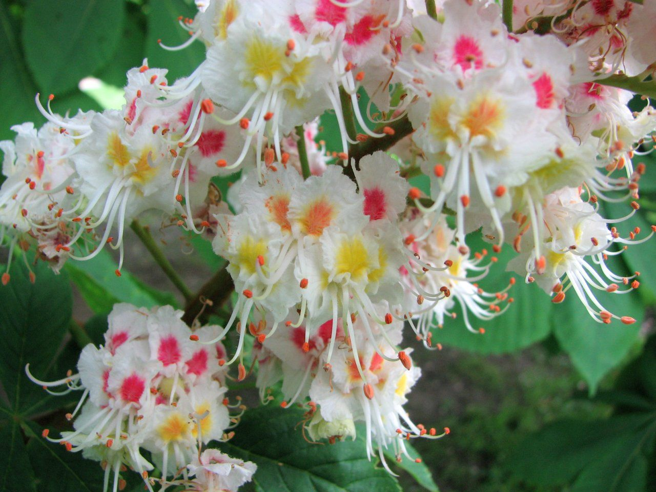Desvre lotus flowers and flowers garden desvre flowering treesdeciduous izmirmasajfo