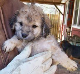Adopt Trevor On Shih Tzu Poodle Mix Shih Tzu Poodle Shih Tzu Dog