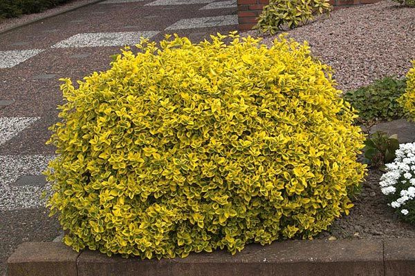 Buy Fast Growing Euonymus Emerald n Gold from Garden Goods Direct