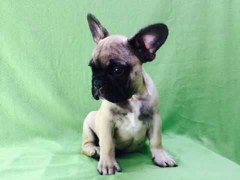 French Bulldog Puppy For Sale In Arlington Va Adn 22634 On