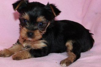 Yorkshire Terrier Dog Puppies for sale in Colchester