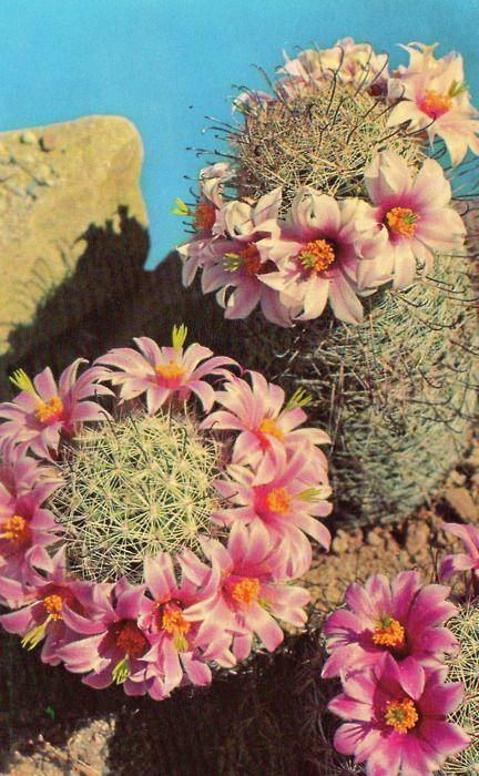 Cactus Cactus Flower Desert Flowers Flowers