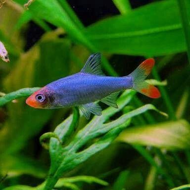 Sawbwa Barb Asian Rummynose Rasbora 3 5cm Aquarium Fish Tropical Fish Tanks Fish Tank Plants