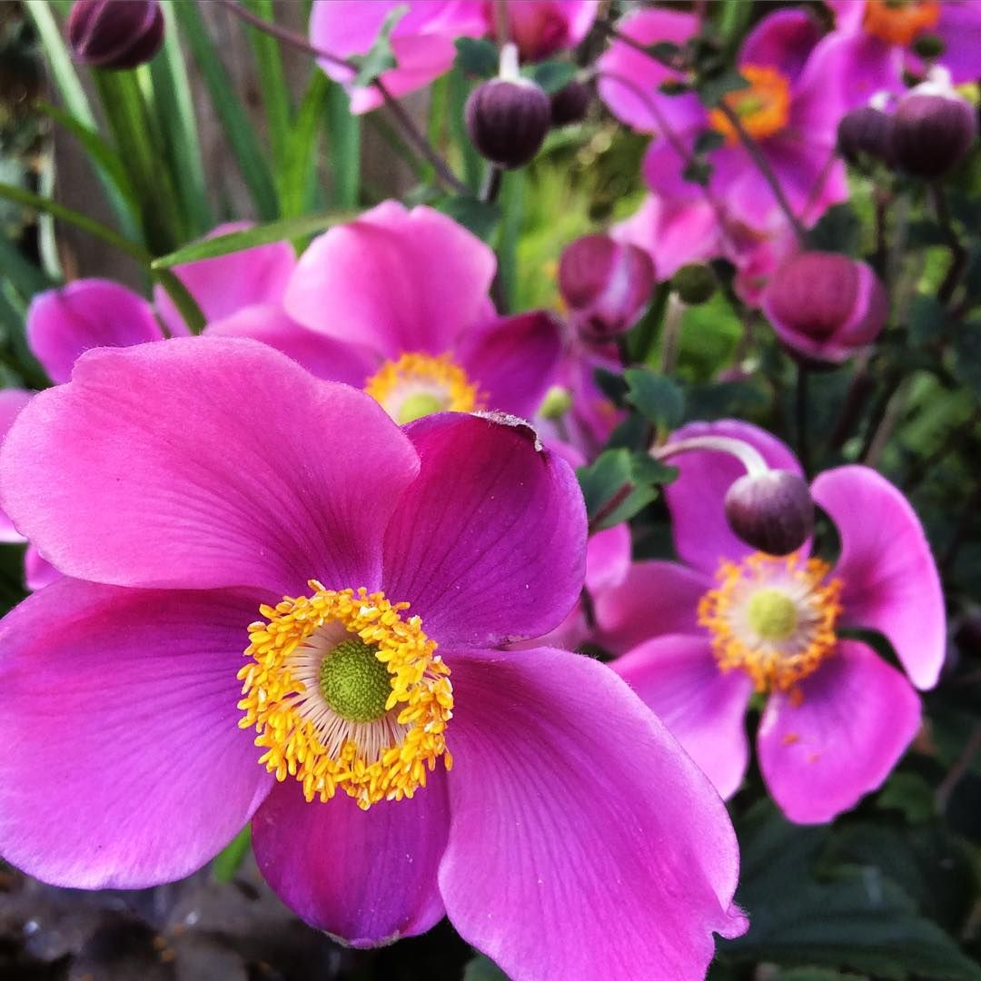 Lucky Charm Japanese Anemone Features Small Pink Flowers For Late