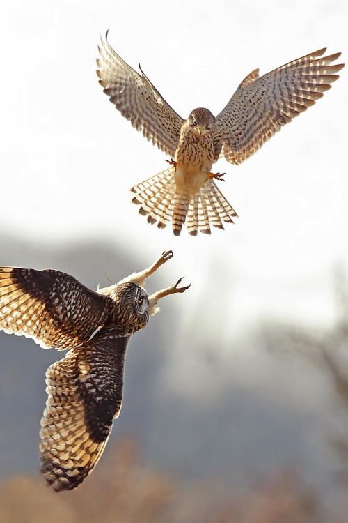 A Kestrel Attacks Short Eared Owl Who Was On His Regular Patch Photo By Steven Ward Nature Photography 500 Px