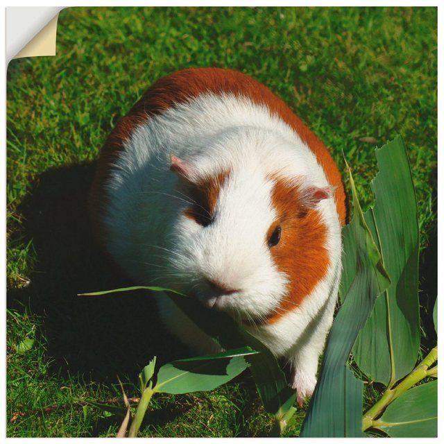 Photo of Artland Wandfolie »Kattobello: Orange weißes Meerschweinchen« online kaufen | OTTO