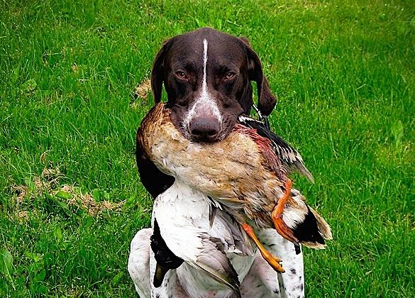 How To Train A Hunting Dog To Retrieve Hunting Dogs Dogs Duck