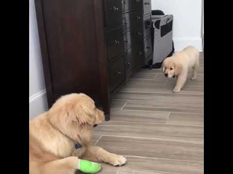 Puppy Has Yet To Master The Art Of Stealth As Demonstrated With This The Worst Sneak Attack Ever Retriever Puppy Old Golden Retriever Golden Retriever