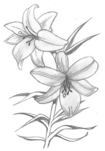 Lily Flower Drawing In Pencil