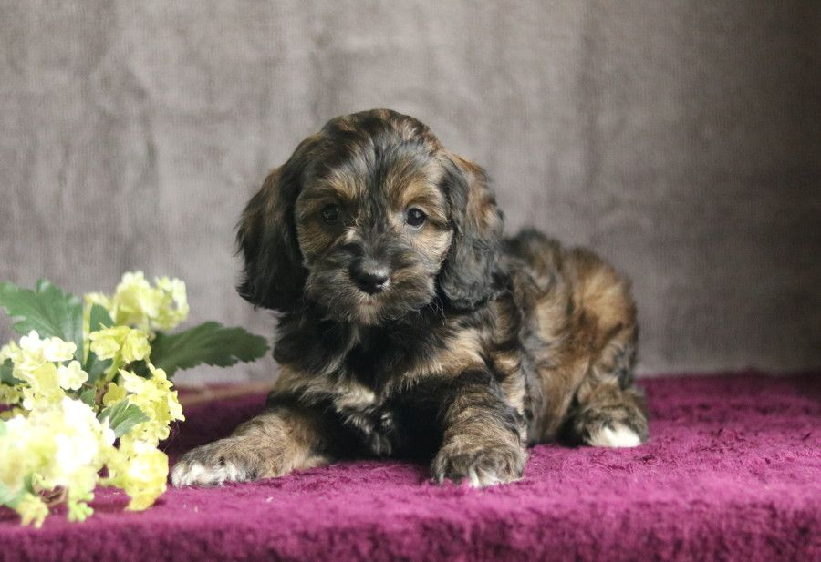 Cockapoo Puppies For Sale In 2020 Cockapoo Puppies Puppies Cockapoo