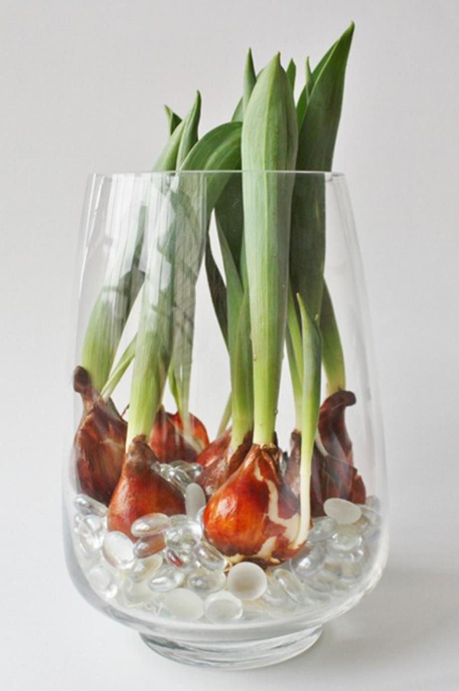 A Growing From Scratch Guide To Forcing Tulip Bulbs Bloom In Water For