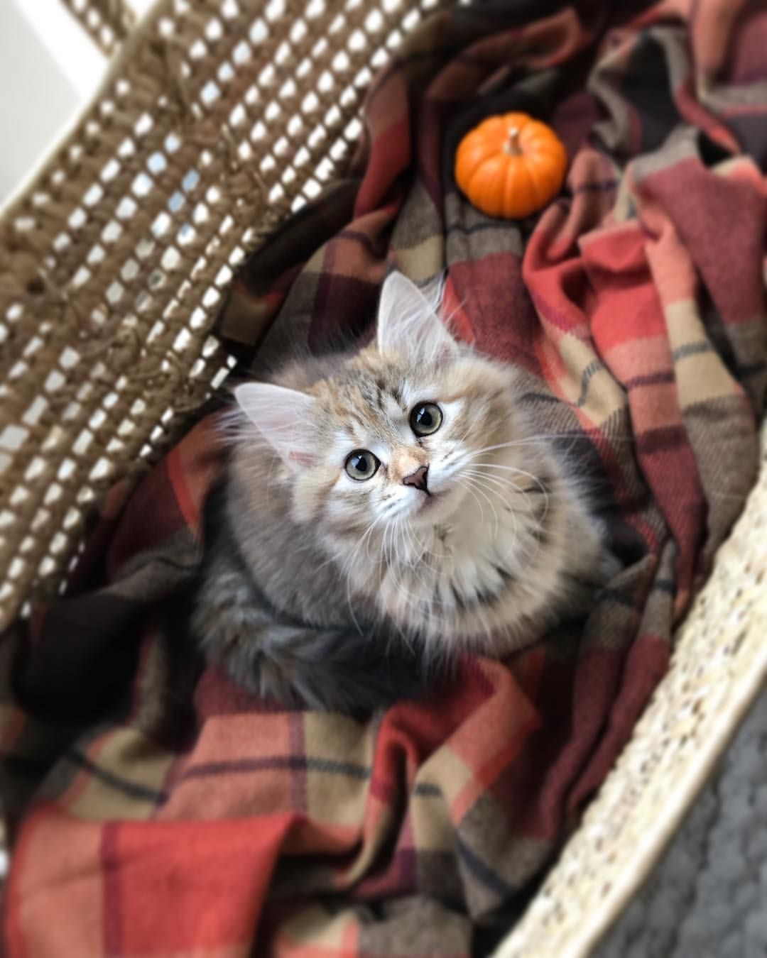 I Mean Do Cats Get Any Prettier 12 Week Old Siberian Torbie Kitten Kitten Siberiankitten Siberiankittens Si Siberian Kittens Siberian Cat Cat Day