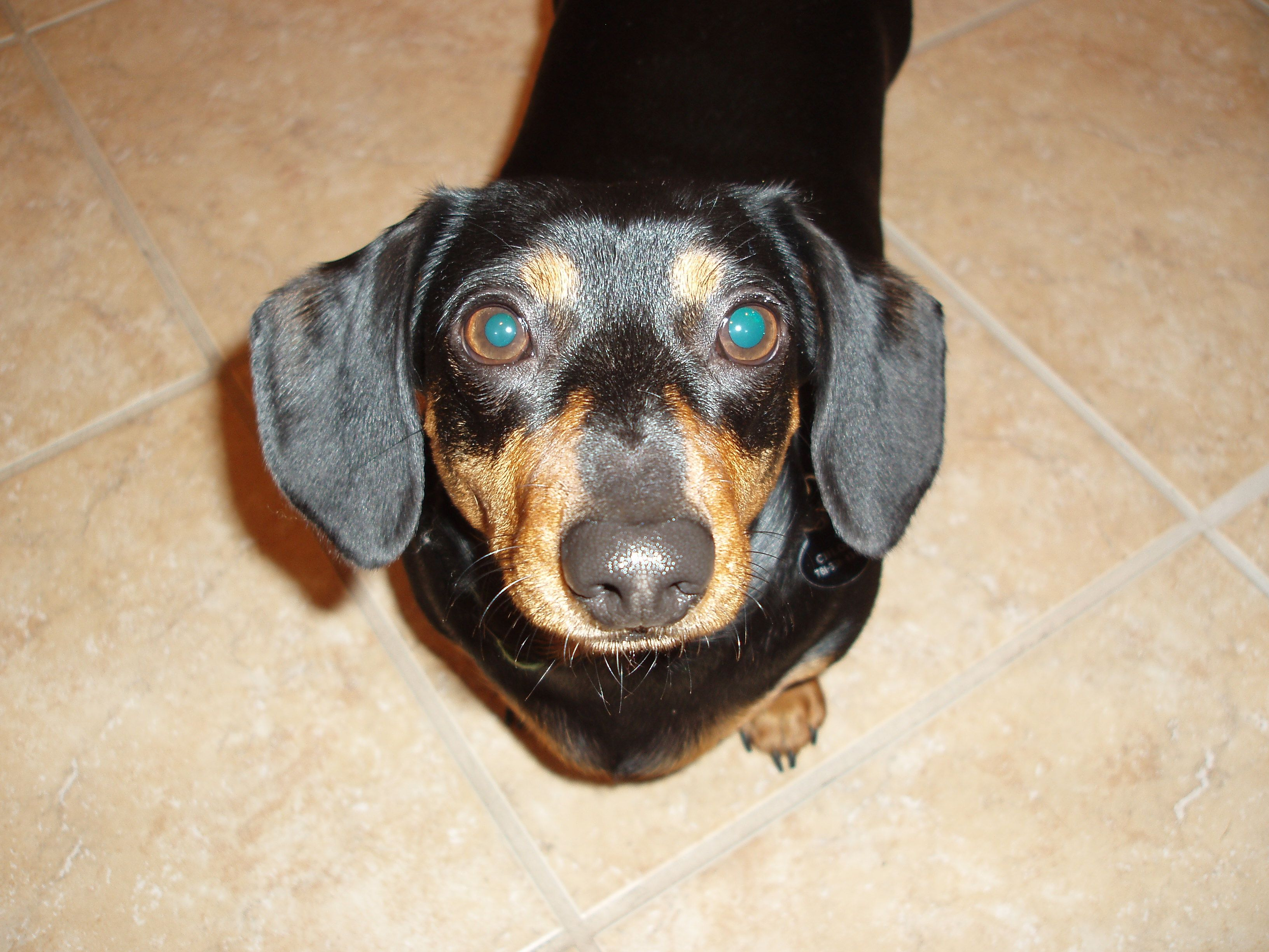 Chloe dachshund dogs animals