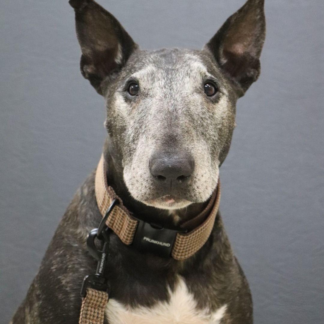 Pin Von Vania Villalobos Auf Animalitos Hunde Englischer Bullterrier Bullterrier