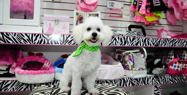 Simón, un french poodle, después de su rutina de baño, corte y secado de pelo, en el spa canino 'Plaquitas' .