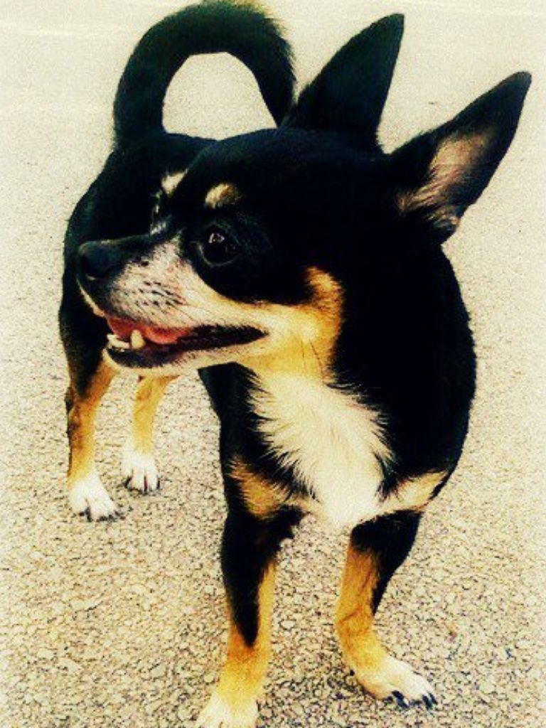 Lost female Chihuahua in New Caney She was lost on old