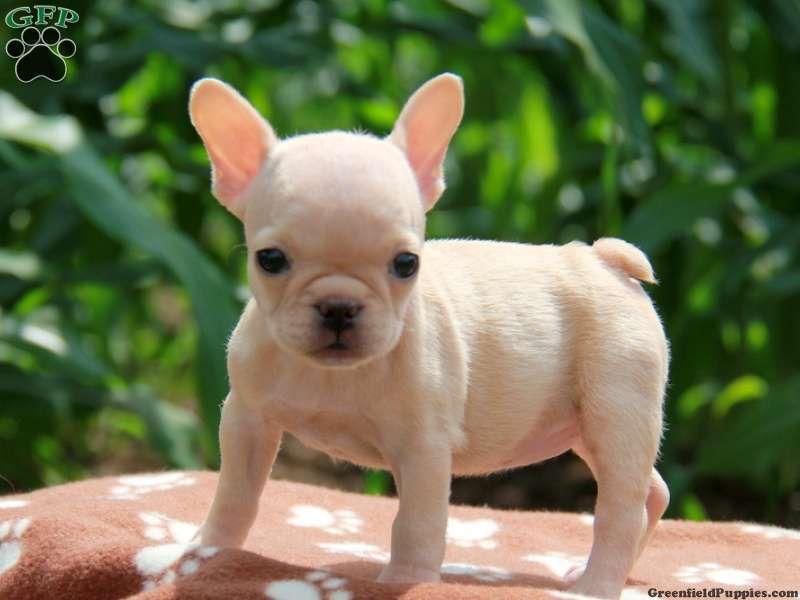 Kiwi Mini French Bulldog French Bulldog Puppy For Sale In