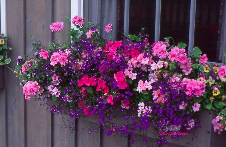 Geraniums, Lobelia and so much more!