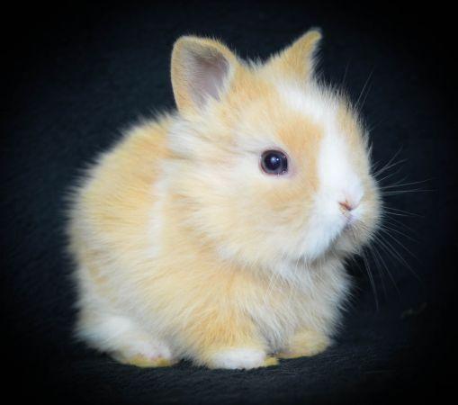 dwarf sized lionhead baby bunny Niedliche tierbabys