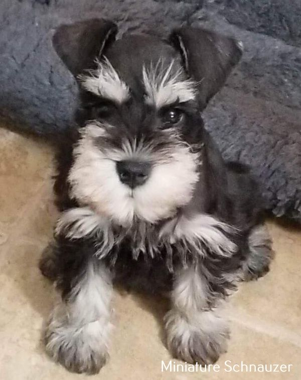 Miniature Schnauzer Long Hair Schnauzer Puppy Schnauzer Breed Miniature Schnauzer
